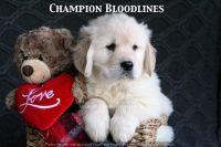 Golden Retriever PUPPY FOR SALE ADN-61906 - Adorable AKC Champion Bloodline Puppies