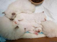 ##Ragdoll Kittens Available###
