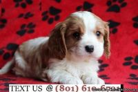 Respectful Cavalier King Charles Puppies Available