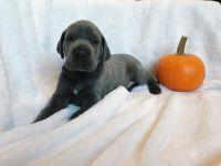 Great Dane PUPPY FOR SALE ADN-52479 - Blue Great Dane Puppy