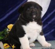 ASAA Adorable M/F AKC Akita Puppies Available