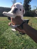 Male and female English Bulldog puppy for adoption