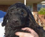 Goldendoodle PUPPY FOR SALE ADN-56089 - Goldendoodle