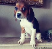 UTGDXRGRD Beagle Puppies