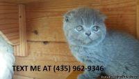 %100consummate/ Adorable sweet Scottish fold kittens for sale