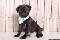 ksdvc Brave Pug pups for sale.