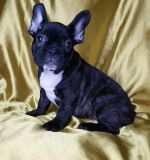 French Bulldog PUPPY FOR SALE ADN-56783 - FrenchieZ PuP