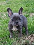 RCXZV French Bulldog Puppies for Sale