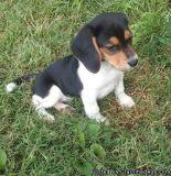 adegdhfd Beagle puppies for sale