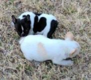 French Bulldog PUPPY FOR SALE ADN-65846 - AKc French Bulldogs Full rights