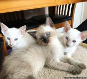 Seal Point Kittens For Sale