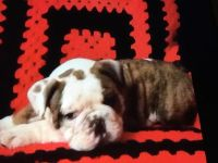 ENGLISH BULLDOG PUP AKC MALE, S&W, UGA ...