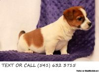Incisive.!!&^% Jack Russell Terrier Puppies Available