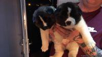 Jjjfkdd happy Akita Puppies