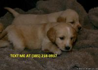 Mztf Golden retriever puppies for sale