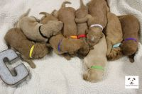 Labradoodle PUPPY FOR SALE ADN-63663 - CKC Registered Labradoodle Puppies