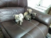 Tennessee Feist Puppies