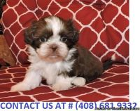 ASTONISHING M/F SHIH TZU PUPPIES Available For Sale.