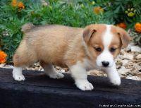 Astonishing A.K.C Pembroke Welsh Corgi Puppies For Adoption