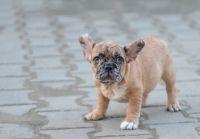French Bulldog PUPPY FOR SALE ADN-64274 - French Bulldog