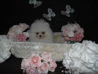 cute classy Pomeranian puppies for sale