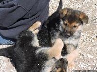 Eastpointe FGHA #! German Shepherd Puppies