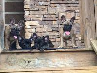 French Bulldog PUPPY FOR SALE ADN-47145 - French Bulldogs