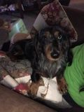 ISO Miniature Dachshund Female