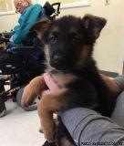 LDOAD M\F German Shepherd Puppies