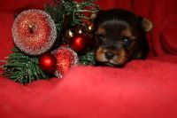 Yorkshire Terrier PUPPY FOR SALE ADN-52671 - Yorkie Puppies