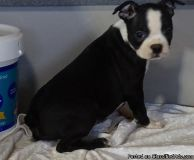 UYGHGNC Boston Terrier Puppies