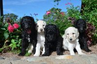 Poodle (Standard) PUPPY FOR SALE ADN-49701 - AKC Pedigree Standard Poodle Puppy