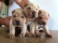 Adorable Shar Pei Puppies for Adoption