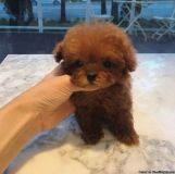super cute red teacup poodle puppies