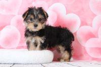 Morkie PUPPY FOR SALE ADN-63449 - Murphy Bubbly Little Male Morkie Puppy