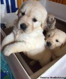 CREAM WHITE GOLDEN RETREIVER PUPPIES