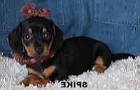 AKC PURE Miniature Dachshund Puppies Text and sms us at; (724) 7O5 - 9730