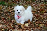 SHSDSE GORGEOUS MALTESE PUPPIES AVAILABLE FOR SALE Text: (4O4) 692 XX 3714