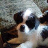 Schi-tzu puppy