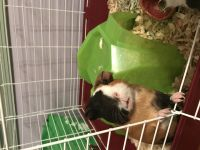 2 friendly and adorable guinea pigs