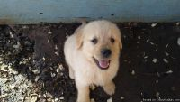 GOLDEN RETRIEVER AKC PUPPIES READY NOW!! TOP IN CHAMPION SHOW AND HUNTING LINES! HEALTHY! HAPPY! SOCIALIZED! HOUSEBROKEN!!