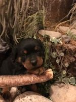 Rottweiler PUPPY FOR SALE ADN-52000 - AKC CHAMPION LINES