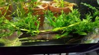 Driftwood with attached Lace Java Fern and Anubias nana Petite 10 in