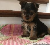 Home Trained Teacup Yorkshire Terrier Puppies Ready