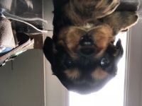 Cavalier King Charles Spaniel PUPPY FOR SALE ADN-65936 - Toby