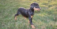 Wholesome Doberman pinscher puppies for sale