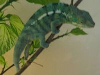 Nosy-Be Panther Chameleon