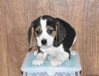 persistent BEAGLE puppies ready.
