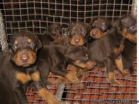 fevec Male and female Doberman Puppies,