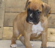 GHIKJKL Boxer puppies